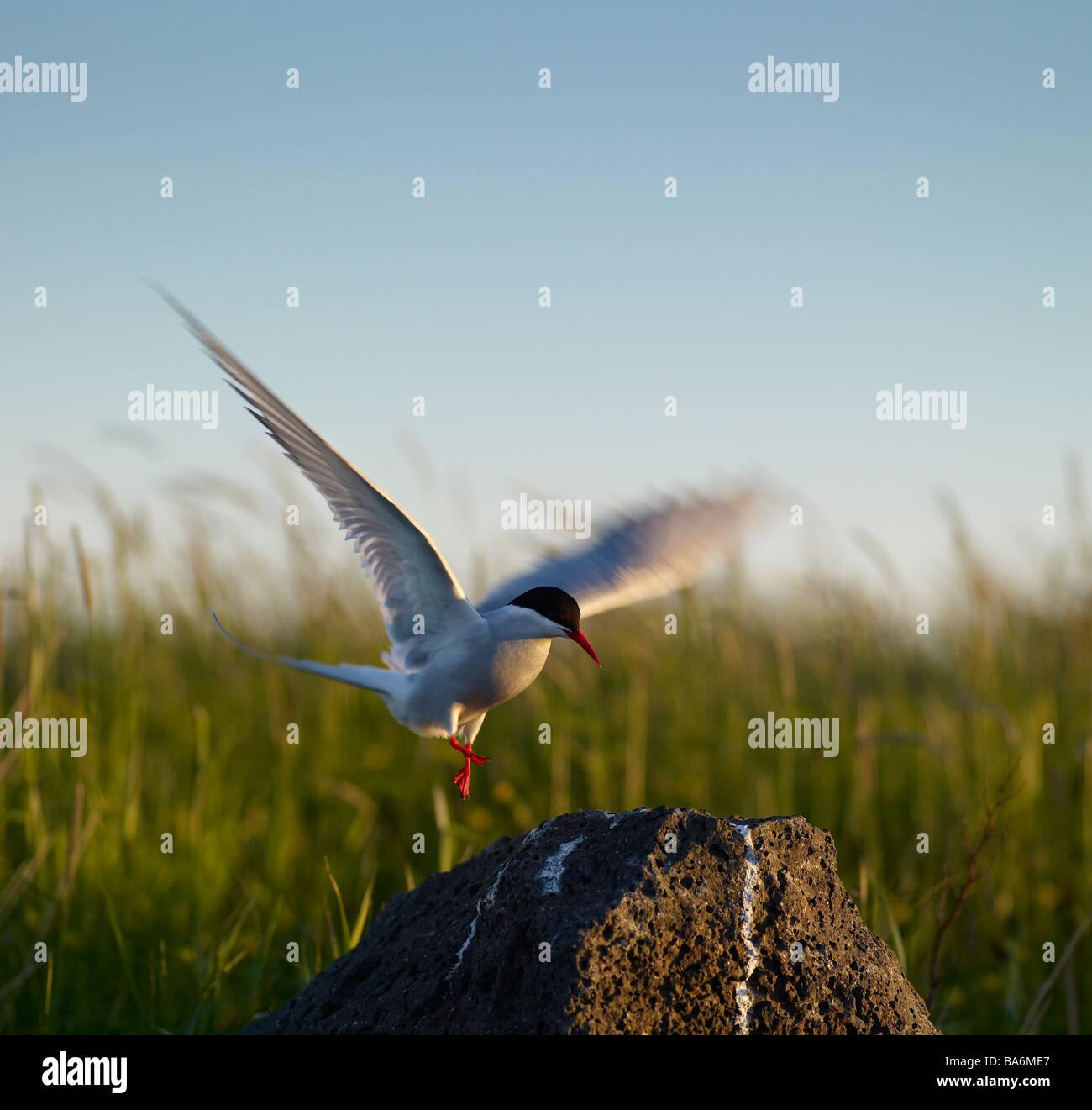 Arctic Tern, Reykjavik, Iceland - Stock Image