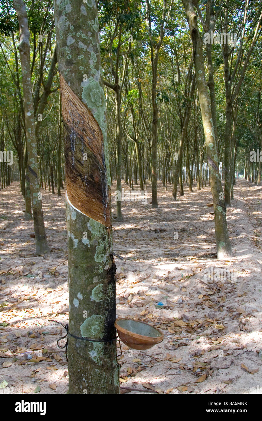 Latex being collected from a rubber tree on a plantation near Tay Ninh Vietnam - Stock Image