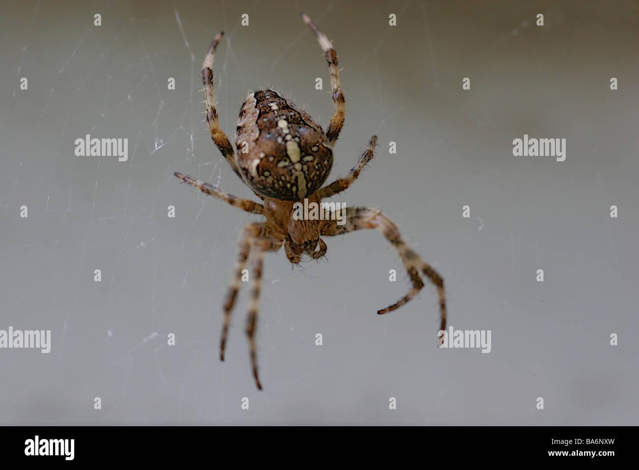 Cross-spider Araneus diadematus fuzziness nature animal spider arachnid Webspinne wheel-net-spider Araneidae concept - Stock Image