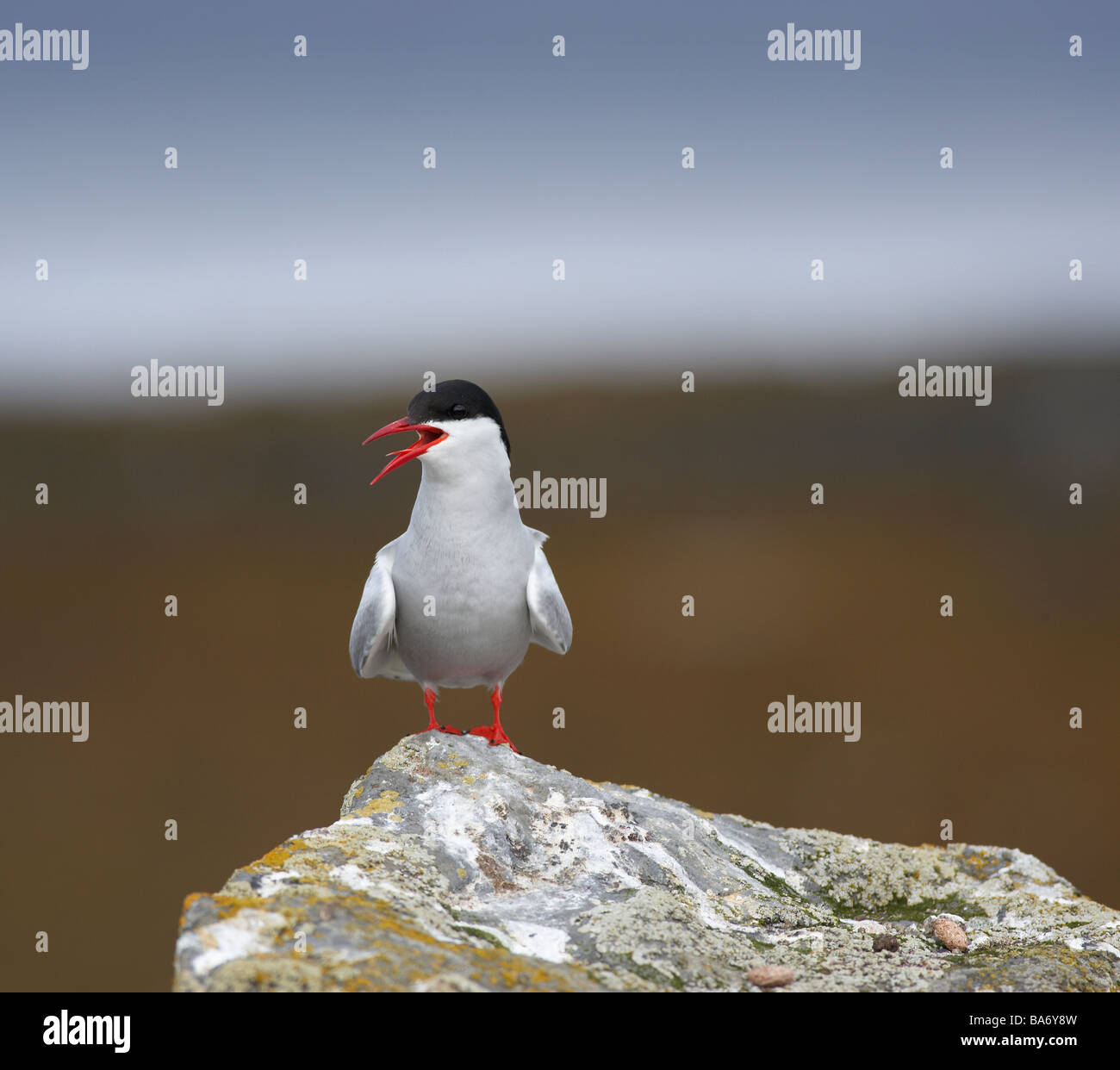 Arctic Tern,  West Fjords, Iceland - Stock Image