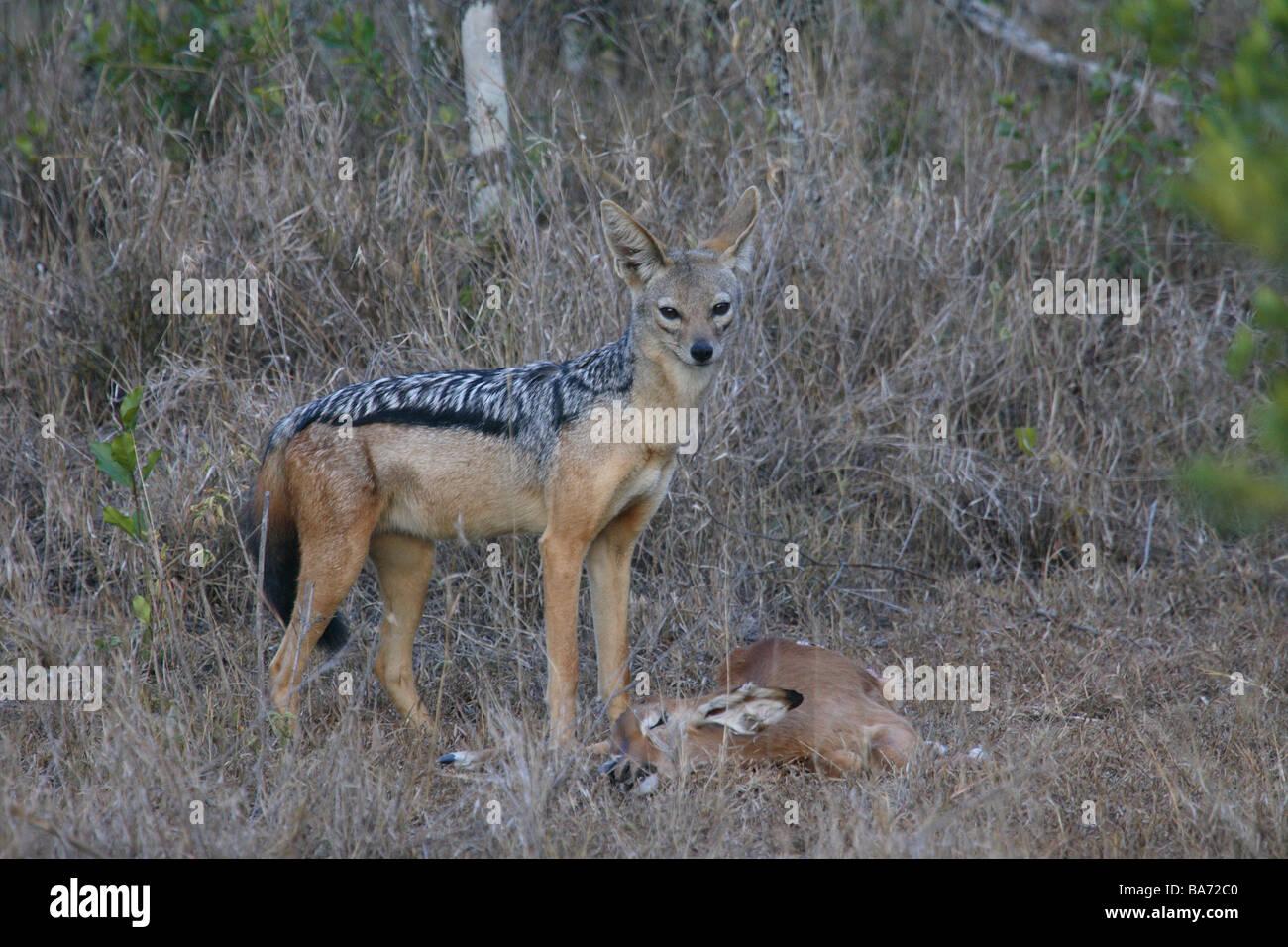 Schabrackenschakal Canis mesomelas loot gazelle Africa Kenya wildlife wilderness Wildlife animal game-animal mammal - Stock Image