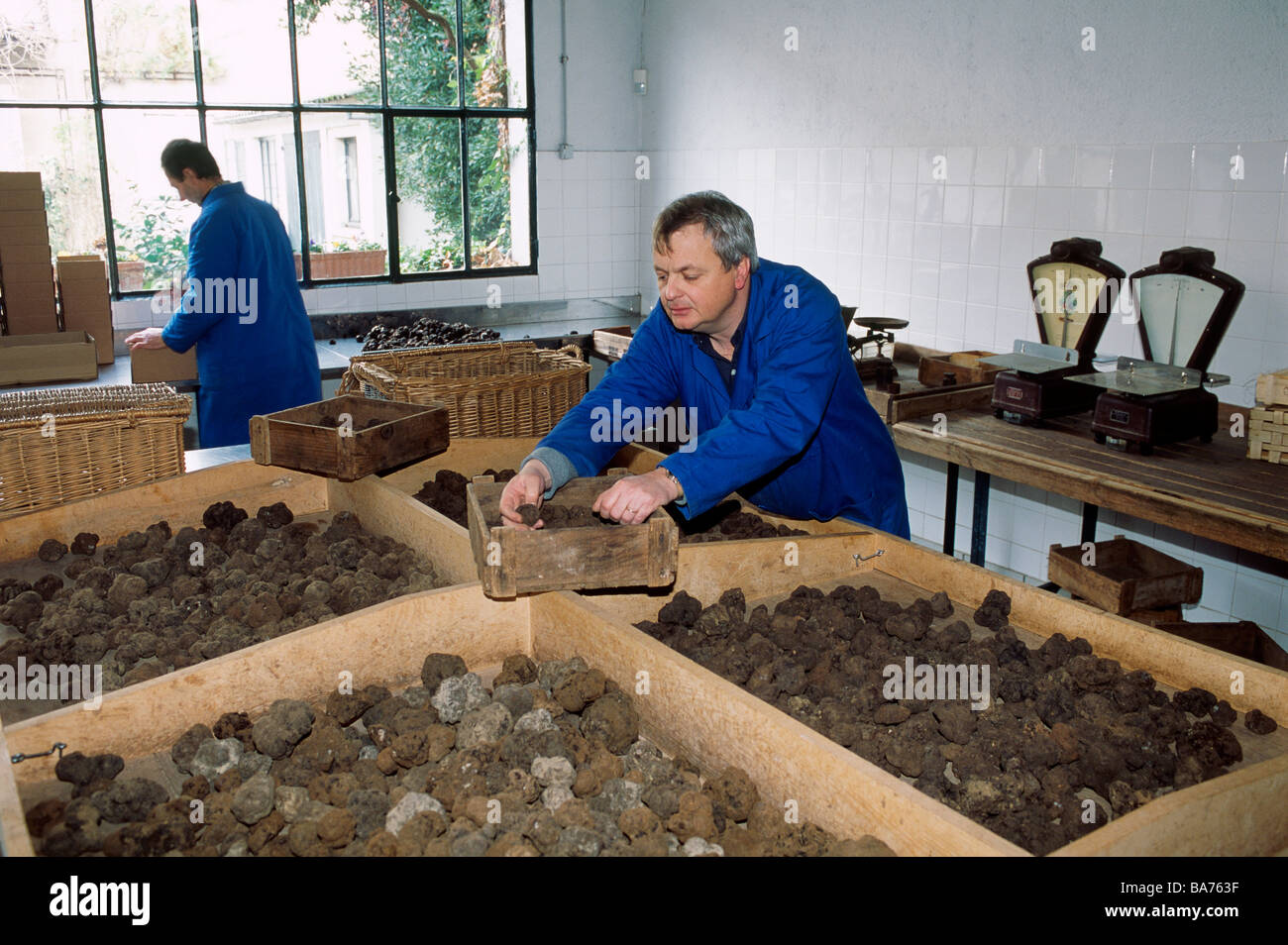 France, Lot, Cahors, Maison Pebeyre, truffles dealers since 1897, Pierre-Jean Pebeyre in front of truffles sorting - Stock Image