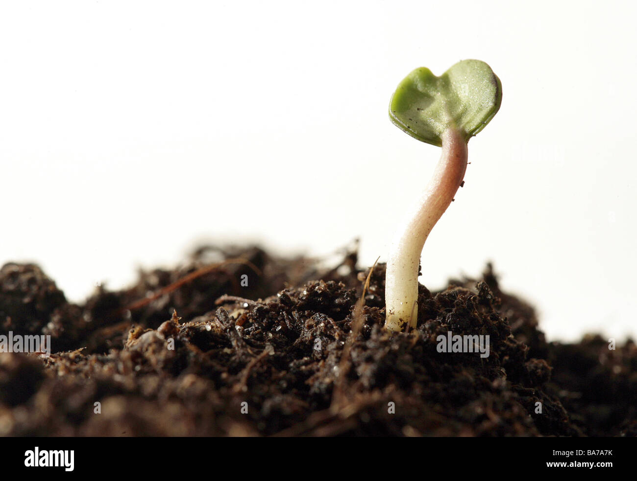 Earth plant seedling series Setzling instinct shoot seedling germ sprouts grows plants plants starts growth symbol - Stock Image