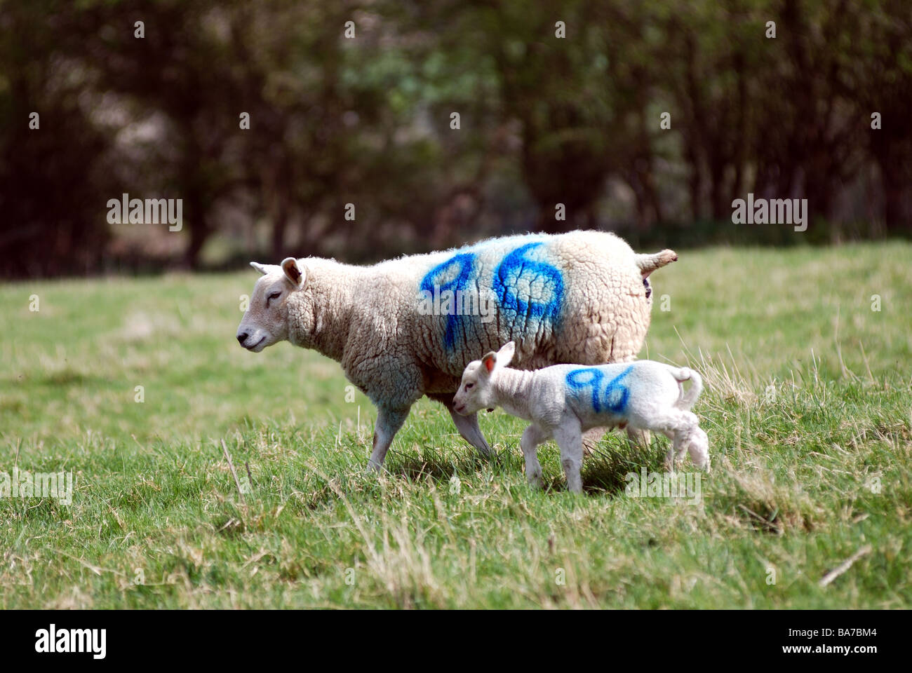 Ewe and lamb with same number on UK - Stock Image