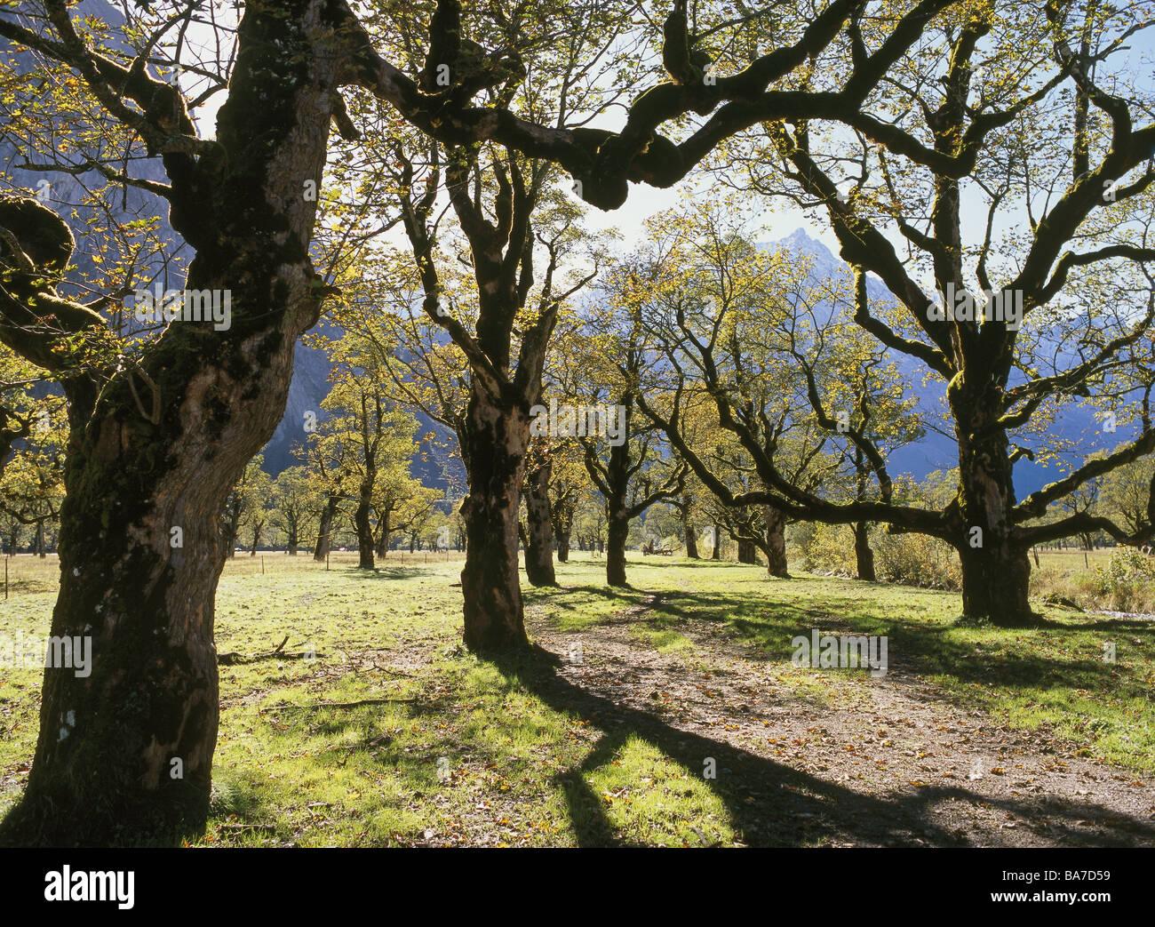 Austria Tyrol Narrow Trees Sycamore Autumn Nature Seasons Plants