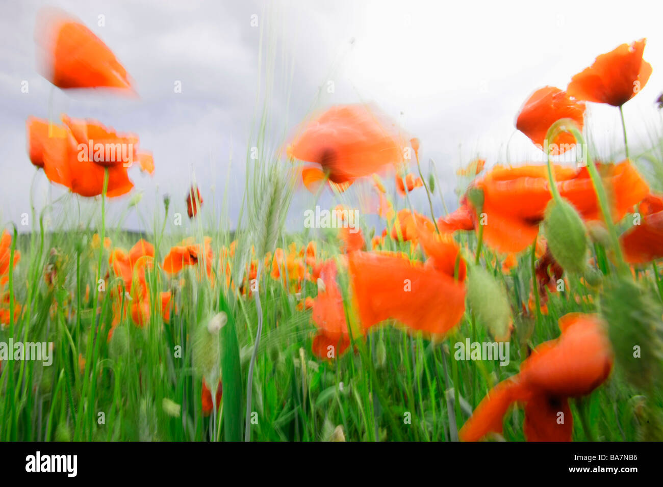 Red poppies in a wheat field, near Fayence, Cote d'Azur, Provence, France - Stock Image