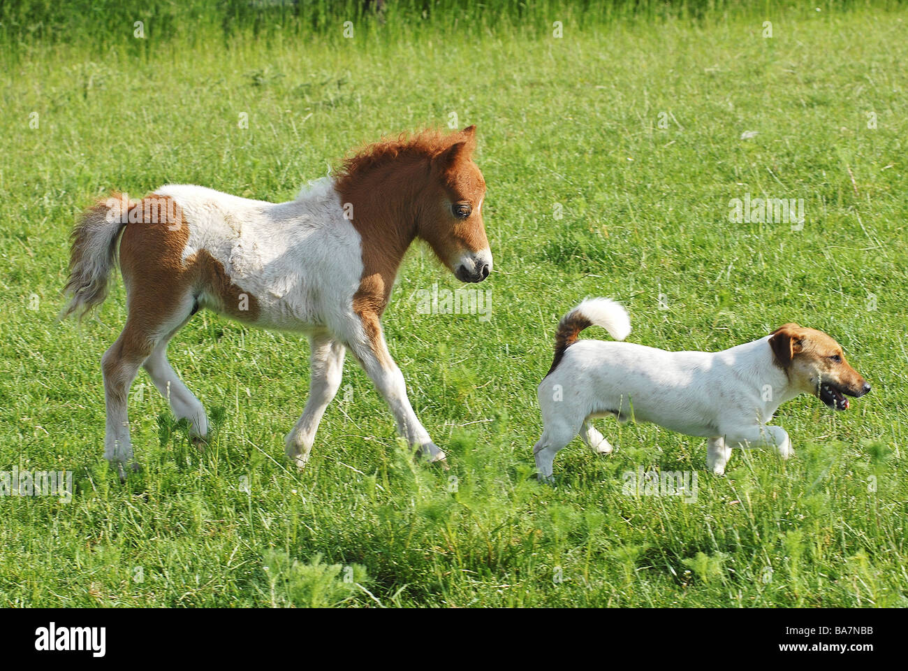 animal friendship mini shetland pony foal and jack russell terrier stock photo 23527375 alamy. Black Bedroom Furniture Sets. Home Design Ideas