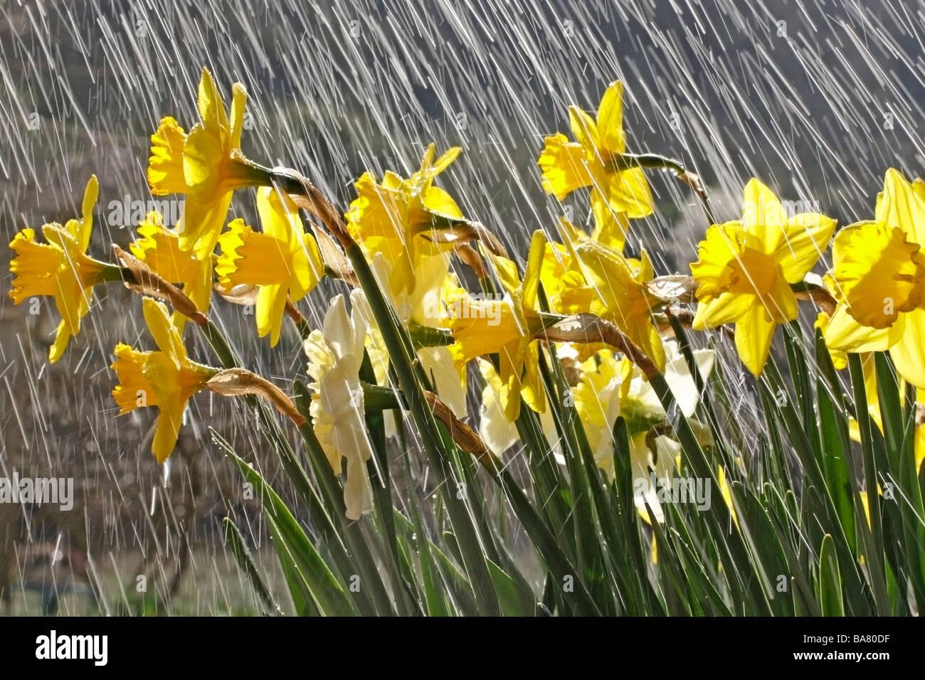 Daffodils and rain - Stock Image