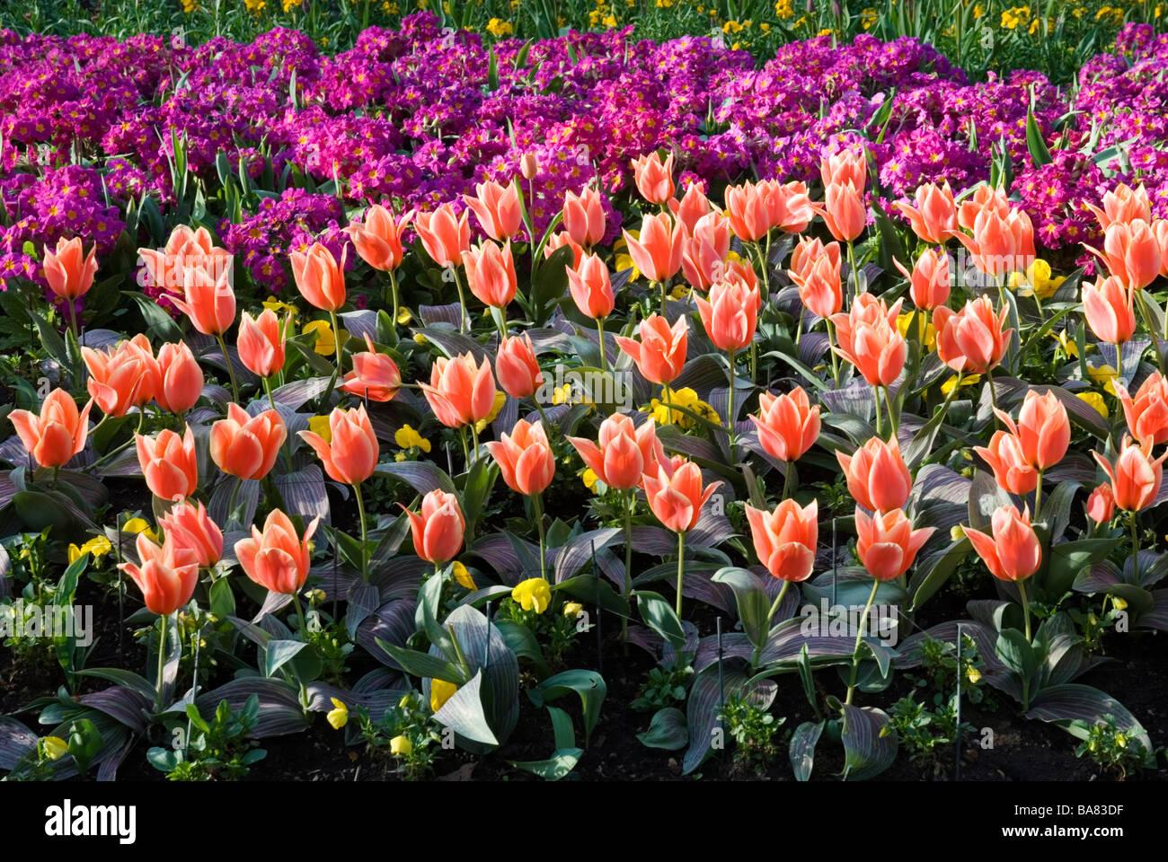 tulip flower beds in spring, st. james's park london england uk
