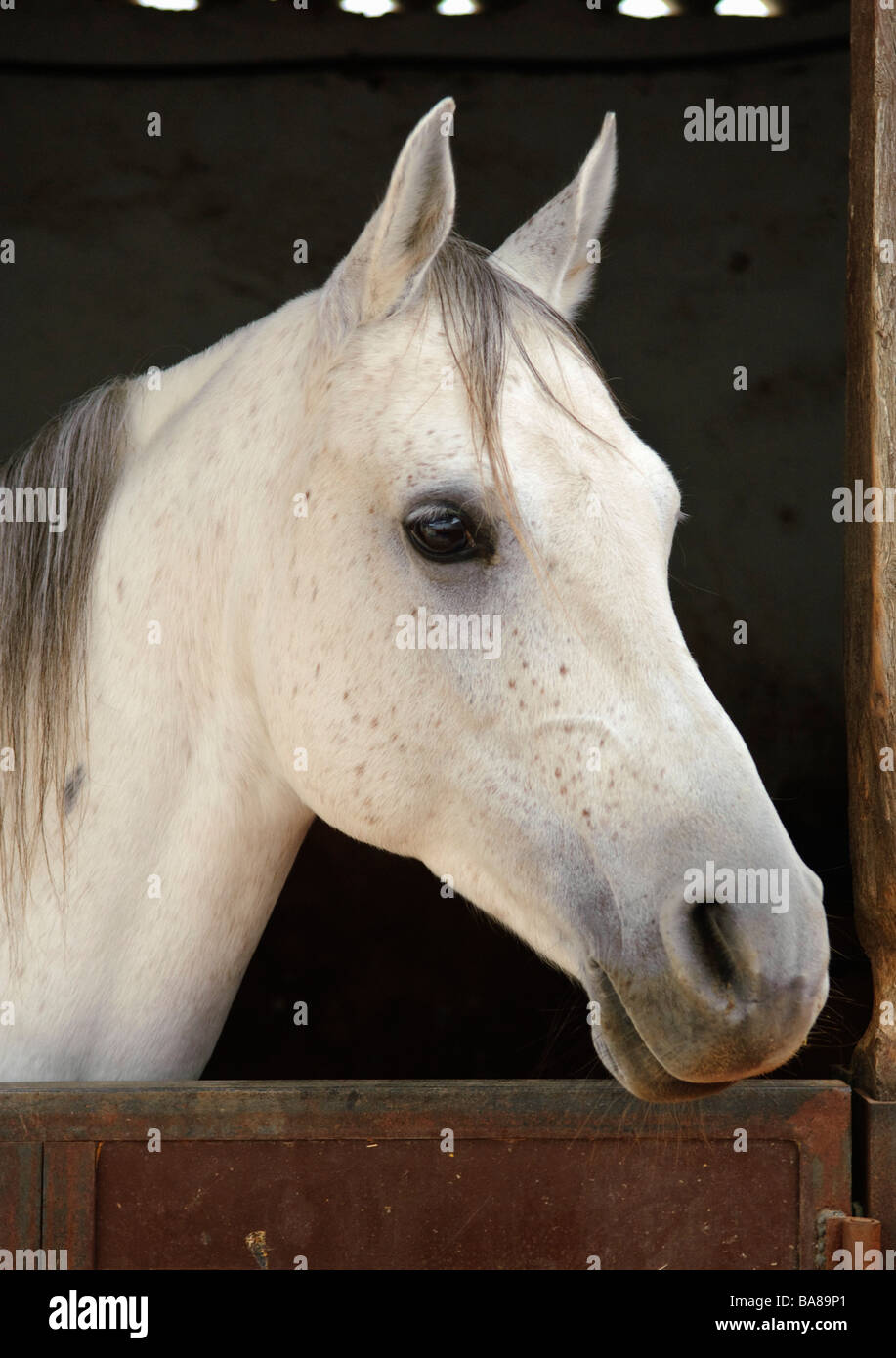 Grey horse in a stable - Stock Image