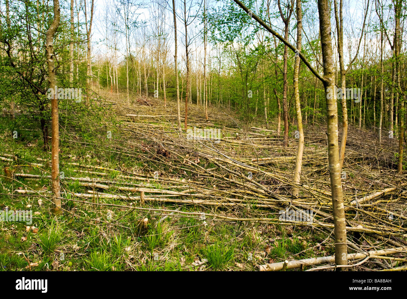 young trees cut down under tree management in overscourt wood area