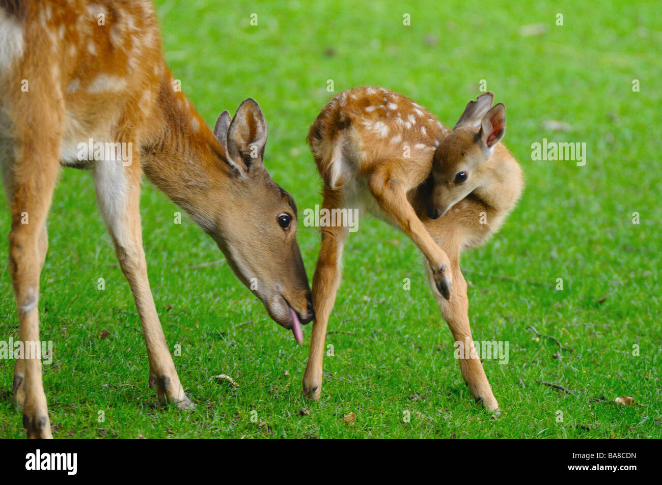 Sika Deer - female and fawn on meadow / Cervus nippon Stock Photo