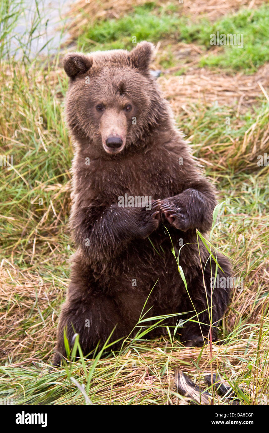 Grizzly bear sitting up - photo#48