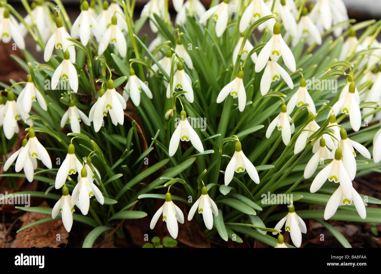 Snowdrops close up Galanthus gracilis - Stock Image