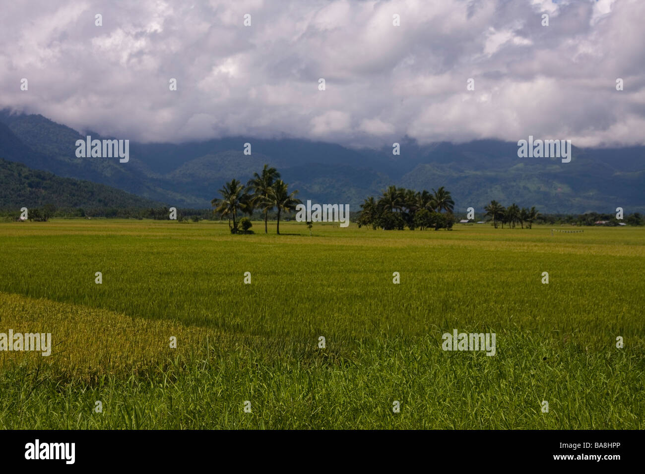 The rice field foregrounds the mountains. - Stock Image