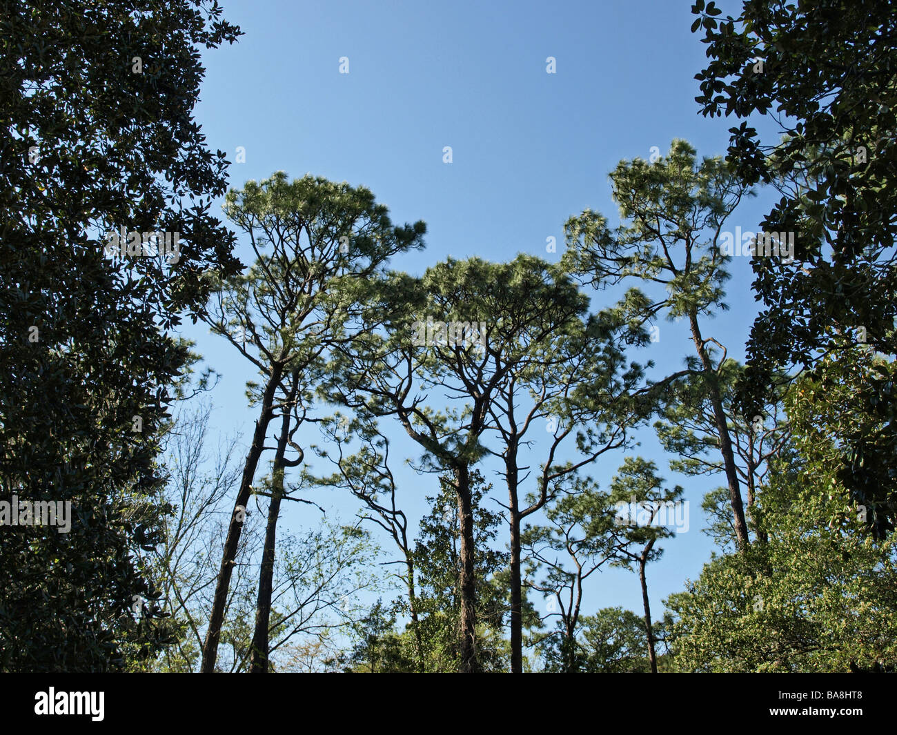 southern tall pine pines bracketed by closer trees against a blue sky upward view - Stock Image