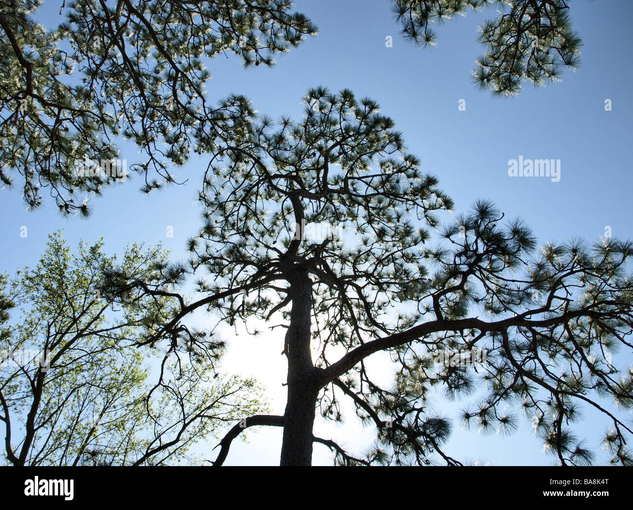 sillouette of long leaf pine tree trees with bright sun behind trunk lighting blue sky and limbs of trees - Stock Image