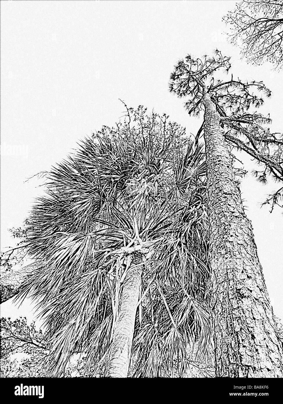 drawing effect skyward view in black and white of long leaf pine tree and leaning palm tree detailed bark and limbs - Stock Image