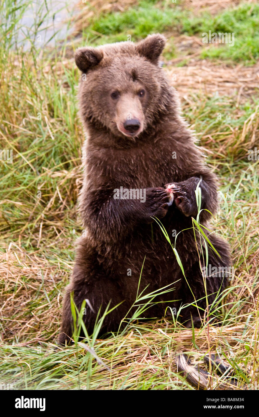Grizzly Bear cub sitting up, eating with paws together, Ursus arctos horriblis, Brooks River, Katmai National Park, - Stock Image