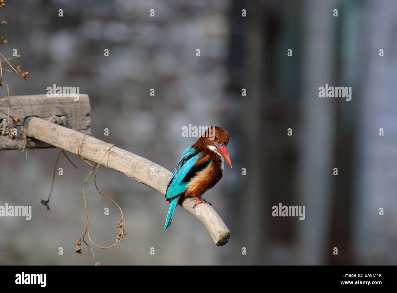 White-throated Kingfisher Halcyon smyrnensis sitting on a handle of primitive harrow in Uttaranchal India - Stock Image