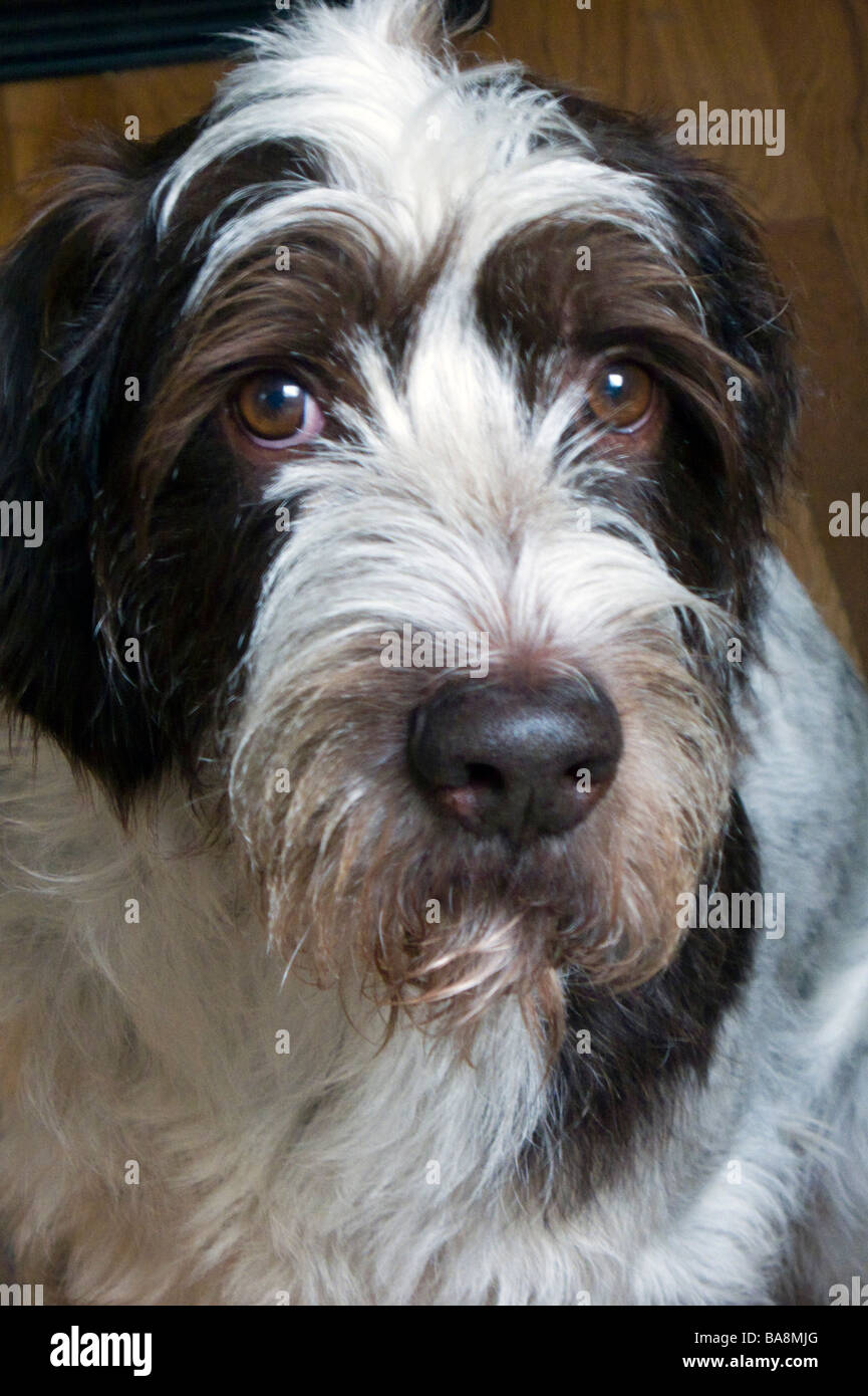 German Wirehaired Pointer dog Stock Photo: 23548744 - Alamy