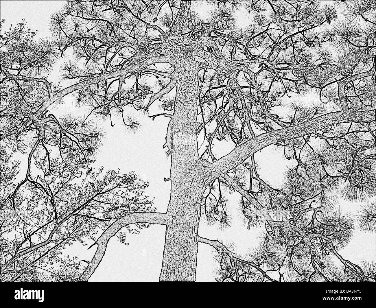 long leaf southern pine tree in a drawing adaptation with detailed branches needles and trunk - Stock Image
