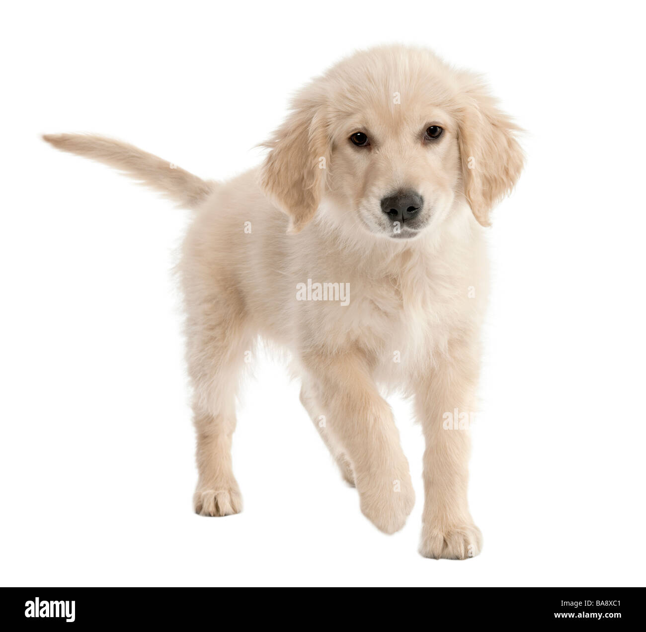 Golden Retriever puppy 4 months old in front of a white background - Stock Image