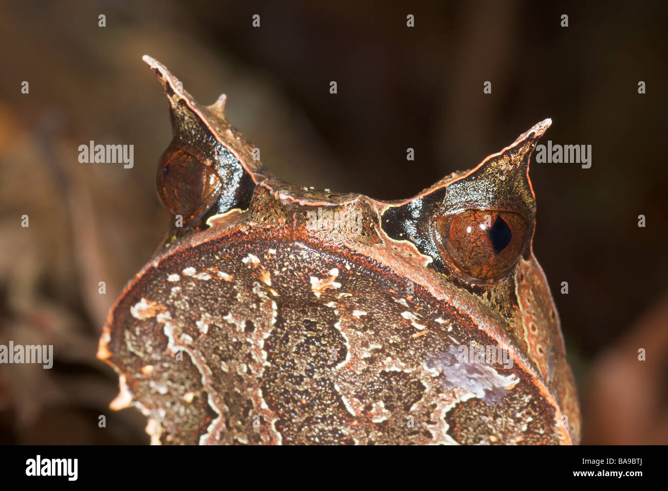 Bornean Horned Frog Megophrys nasuta Danum Valley Sabah Borneo Malaysia - Stock Image