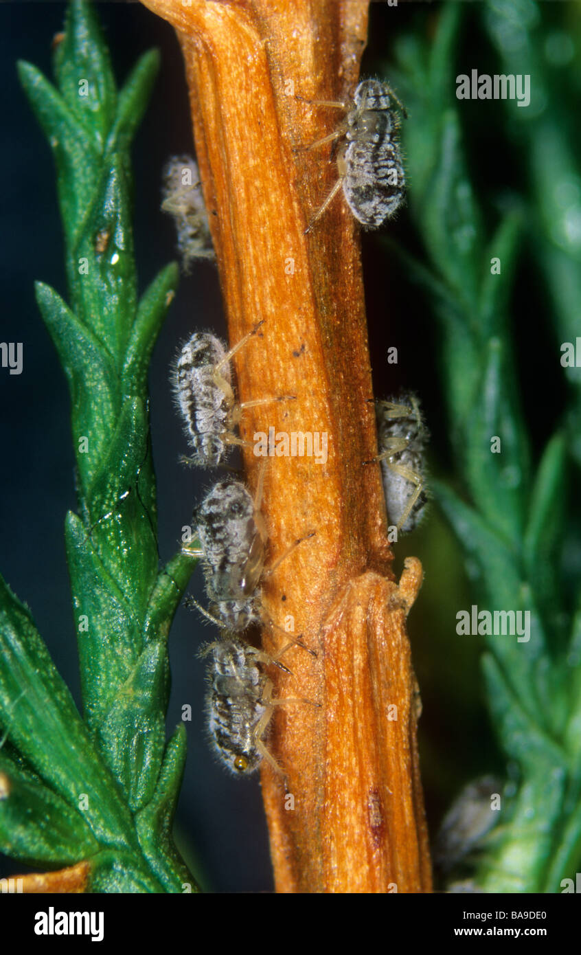 Cypress aphid Cinara cupressi on cypress stem - Stock Image