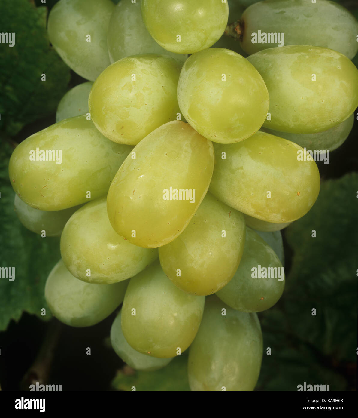 Bunch of seedless table edible white grapes Thomson Seedless - Stock Image