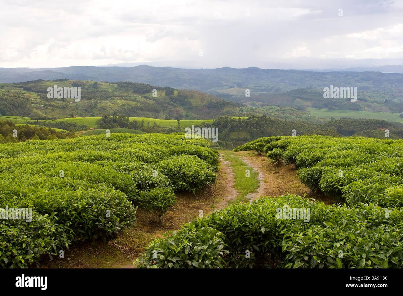 Tea Plantation, Gisakura, Rwanda - Stock Image