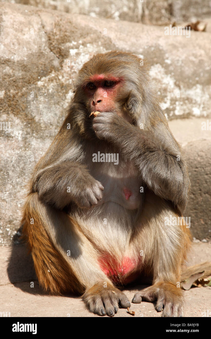 Rhesus macaque monkey eating a nut at the Pashupatinath Temple, Kathmandu - Stock Image