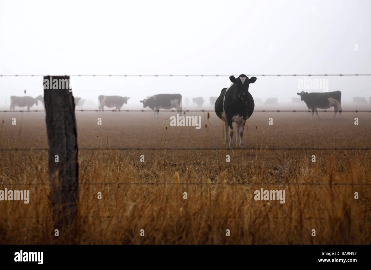 Bushfire Smoke and Cows in a Paddock Black Saturday Bushfires Victoria Australia 2009 Stock Photo