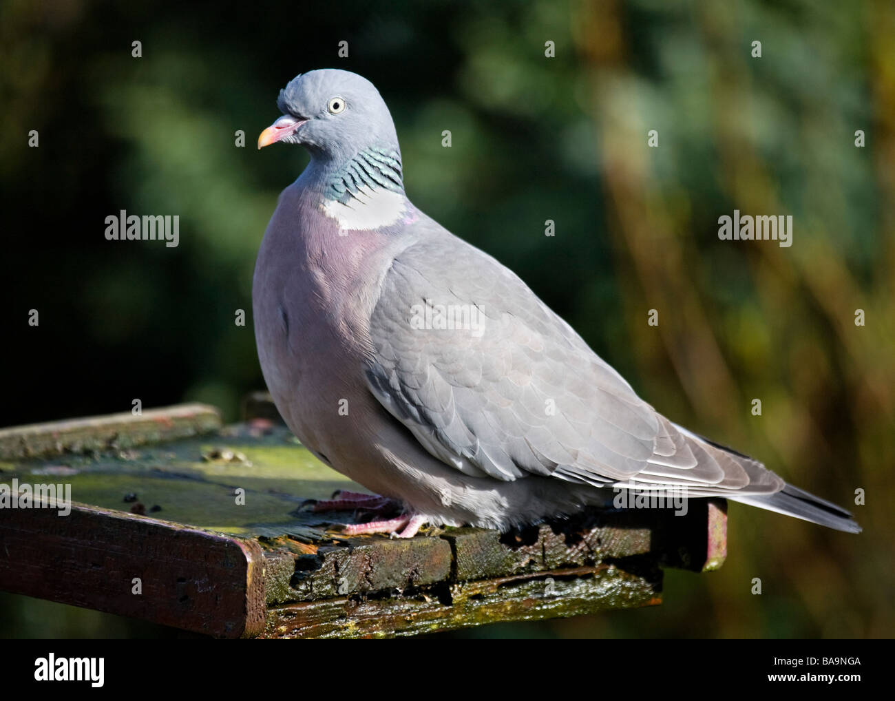 Wood Pigeon, Columba palumbus, perched on an old feeding table. - Stock Image