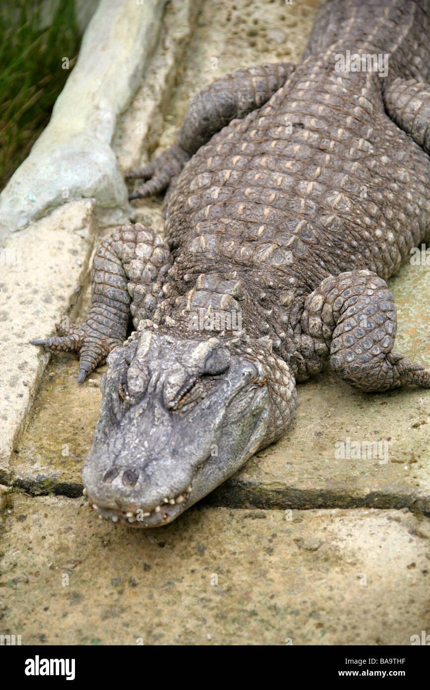 Chinese Alligator, Alligator sinensis, Alligatoridae, Crocodilia, Reptilia - Stock Image