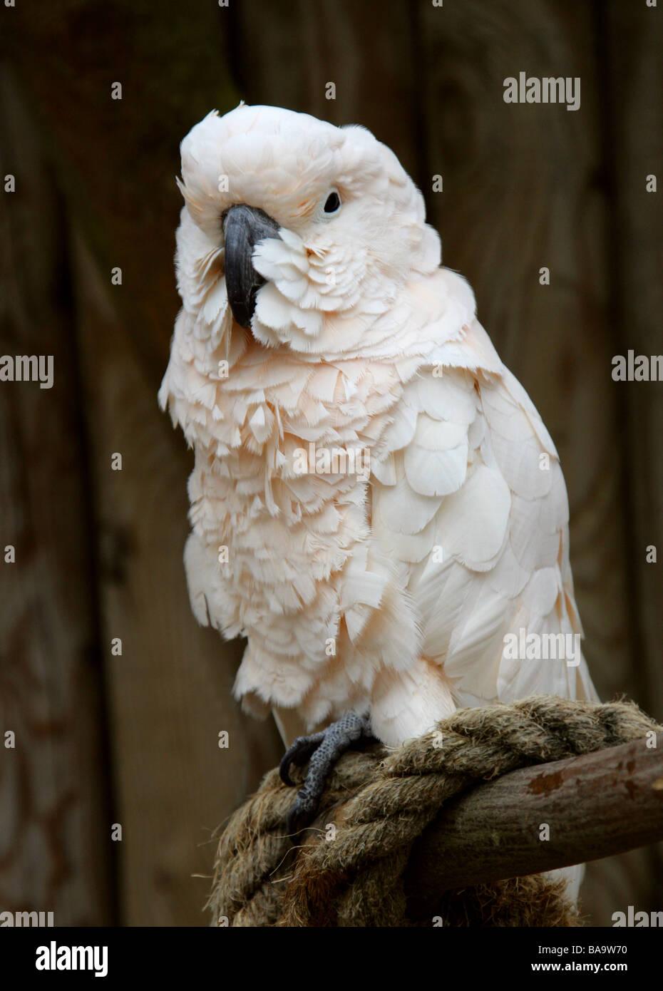 Moluccan Cockatoo, Cacatua moluccensis, aka Salmon-crested Cockatoo, Cacatuidae. - Stock Image