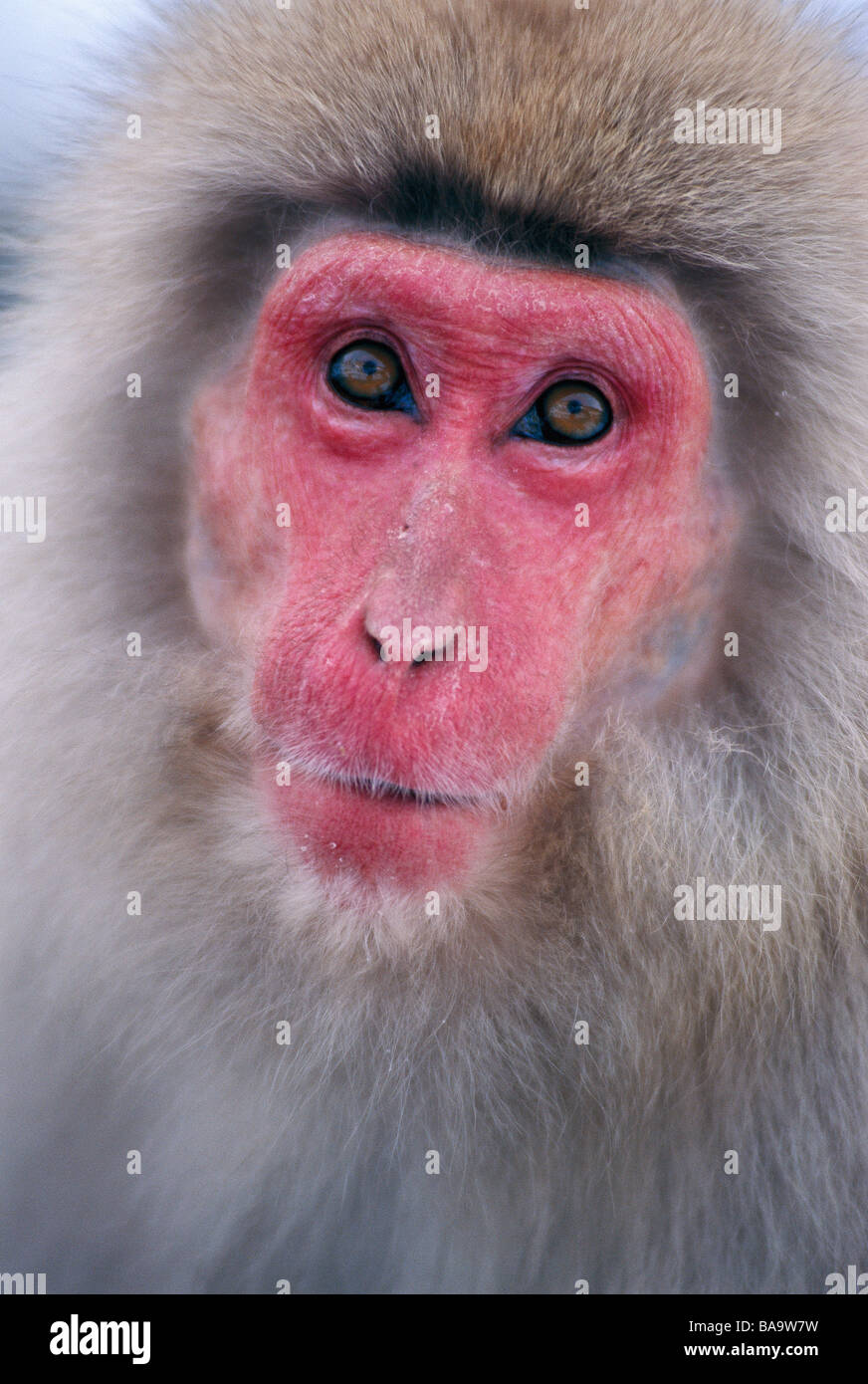 Japanese Macaque Japan - Stock Image