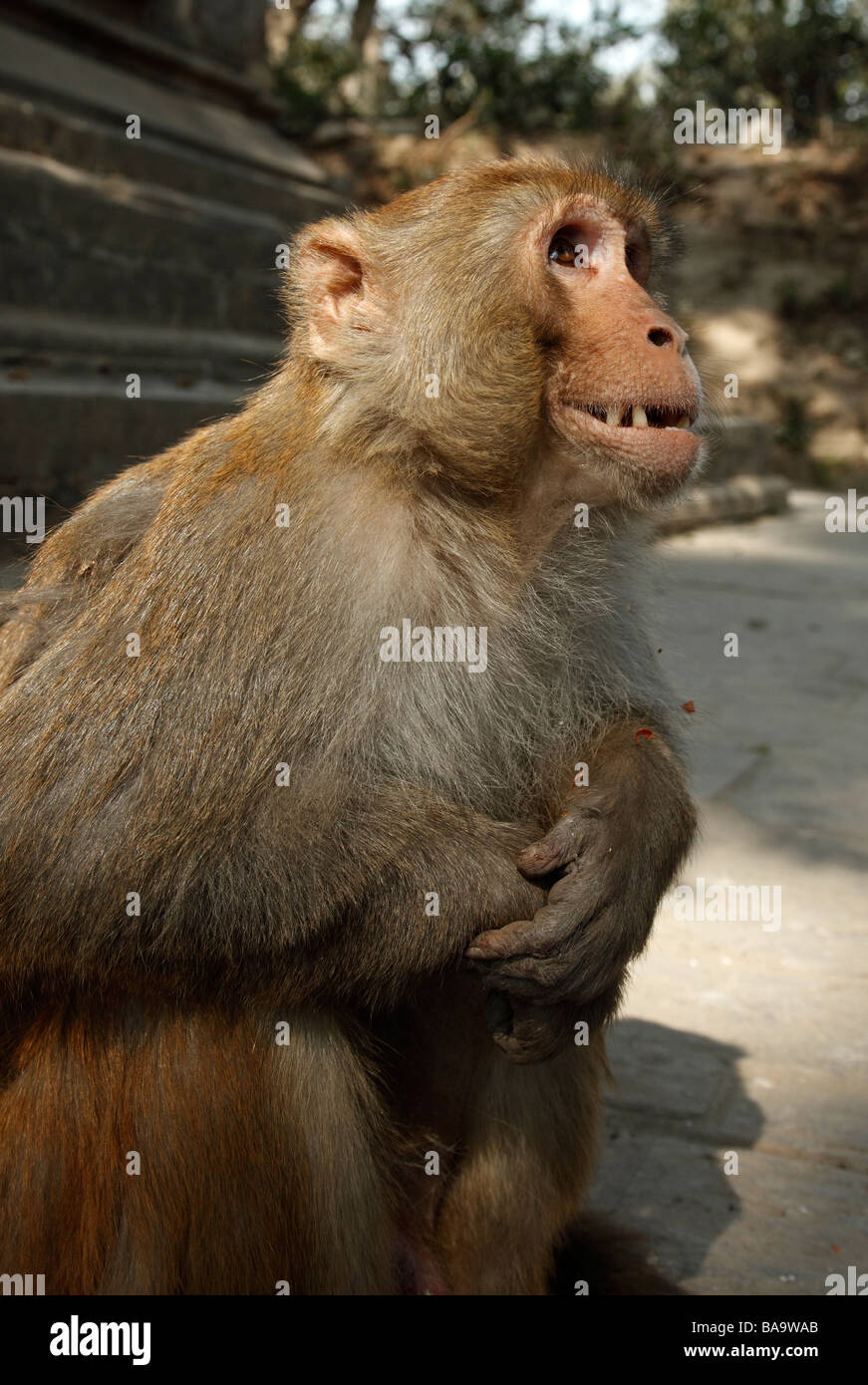 A large male macaque monkey waits patiently for nuts from tourists at the Pashupatinath Temple in Kathmandu, Nepal - Stock Image