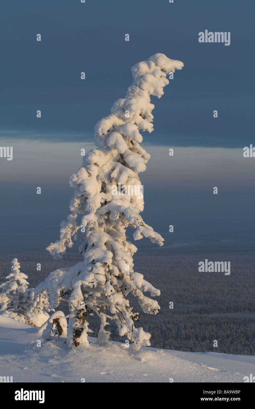 A snow-covered spruce Sweden - Stock Image