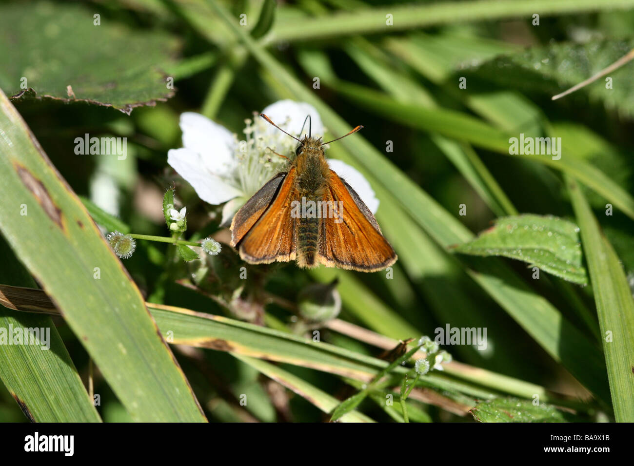 Small Skipper Thymelicus sylvestris on Bramble showing detail of forewings - Stock Image