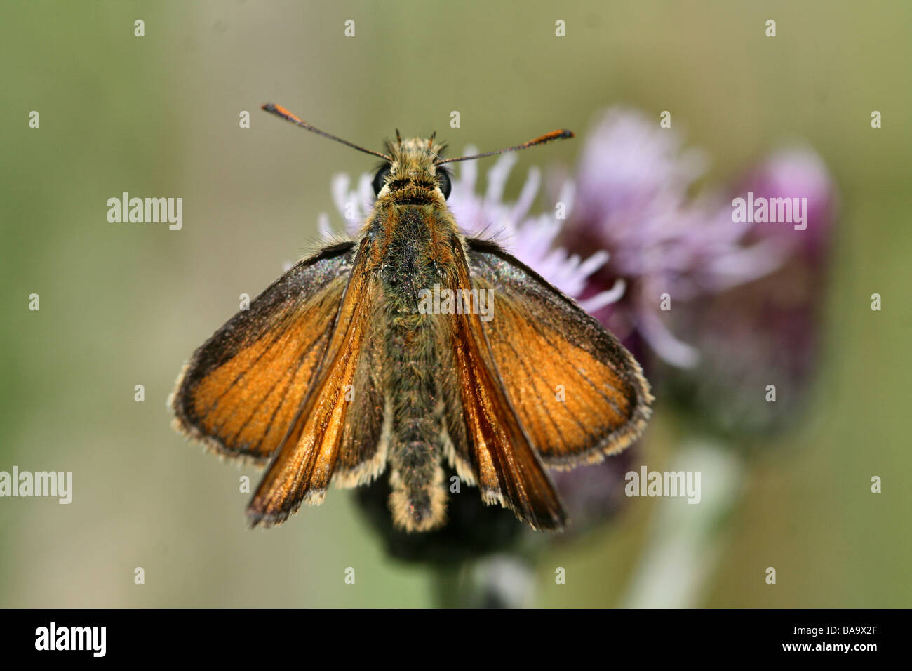 Small Skipper Thymelicus sylvestris on Creeping Thistle showing detail of forewings - Stock Image