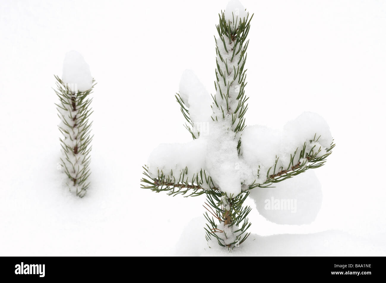 Spruce in snow SwedenStock Photo