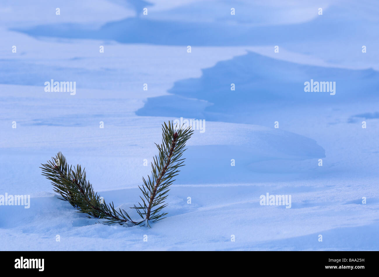 The branch from a spruce in the snow - Stock Image