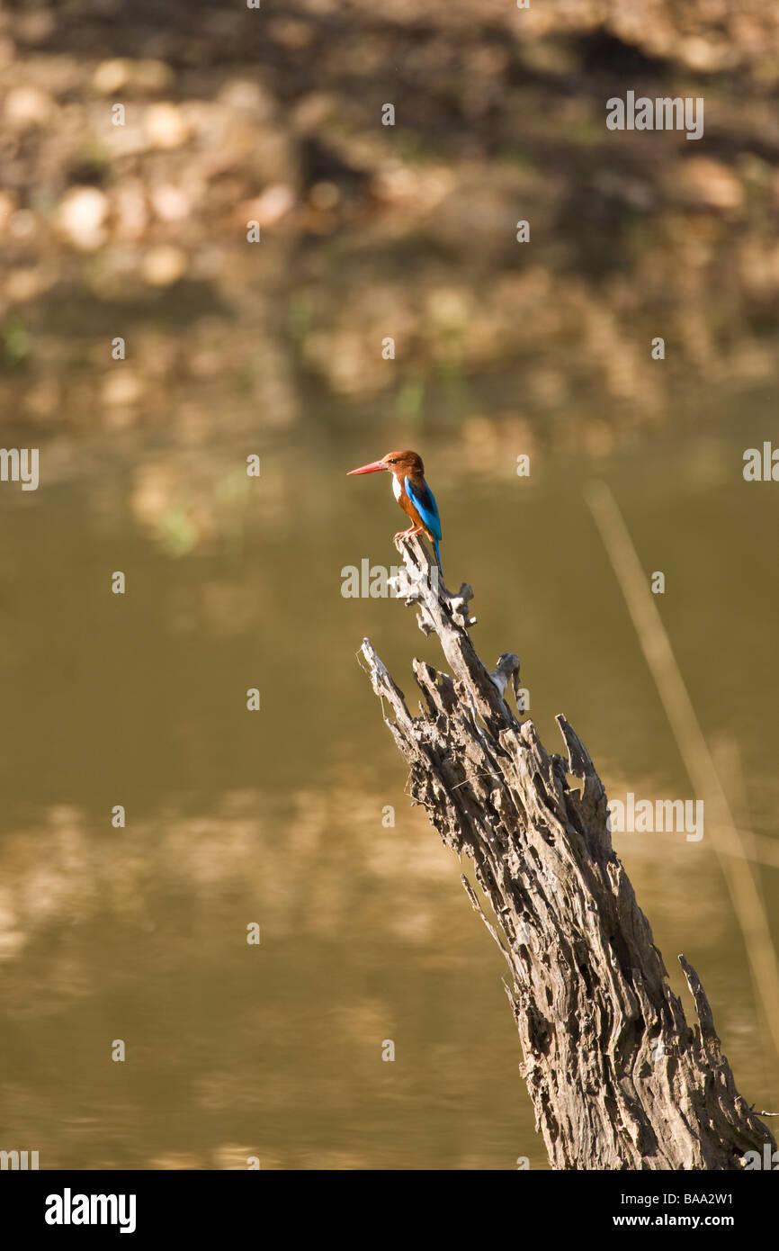 White-throated Kingfisher Halcyon smyrnensis Bandhavgarh National Park Madhya Pradesh Northern India Asia - Stock Image