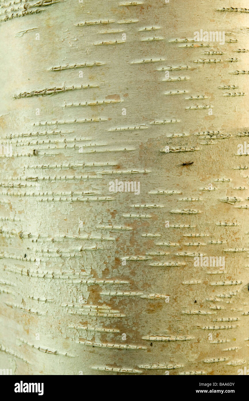A birch-tree close-up Sweden - Stock Image