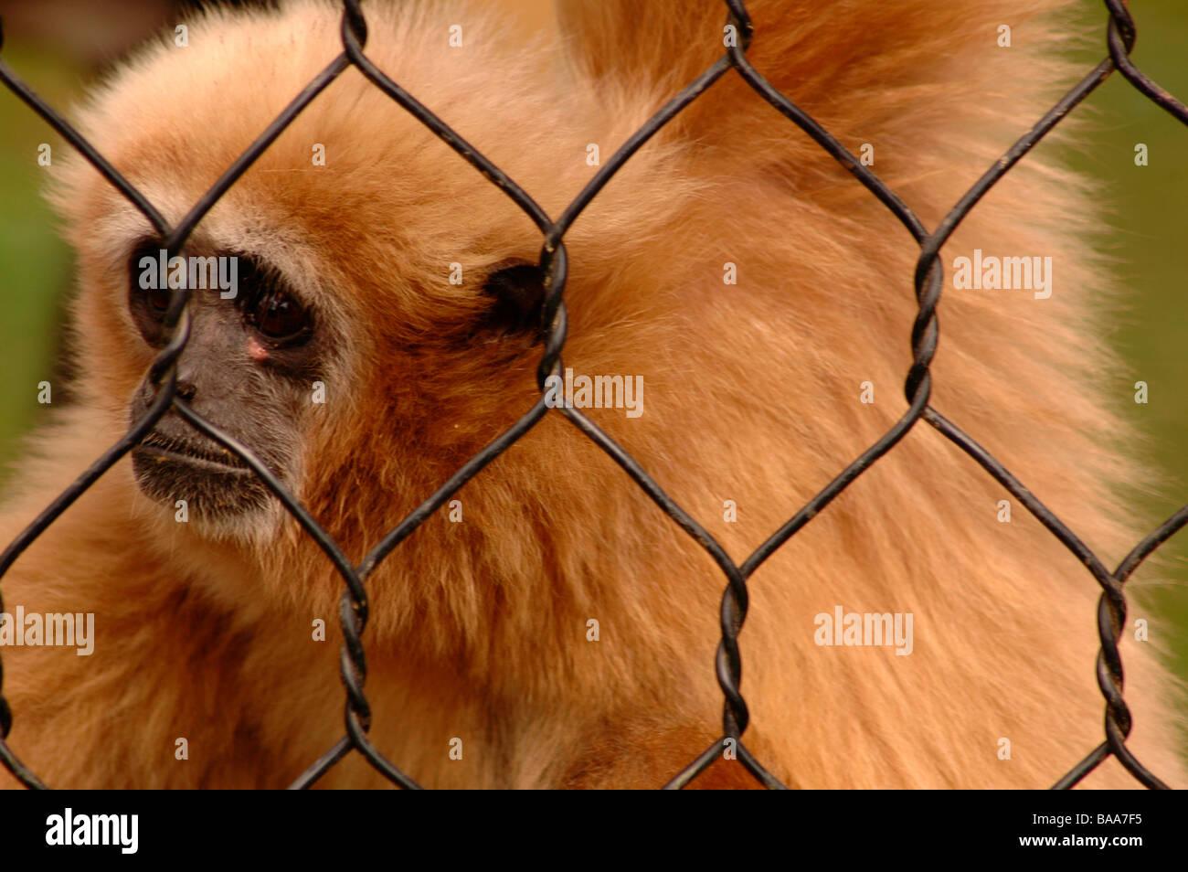 a sad monkey in a zoo Stock Photo