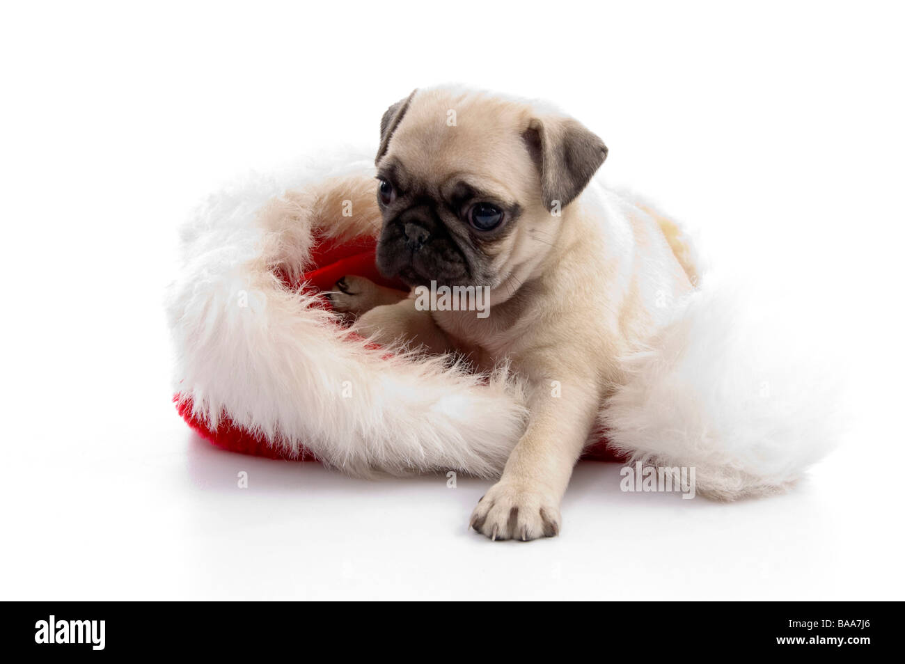 puppy sitting on christmas hat - Stock Image