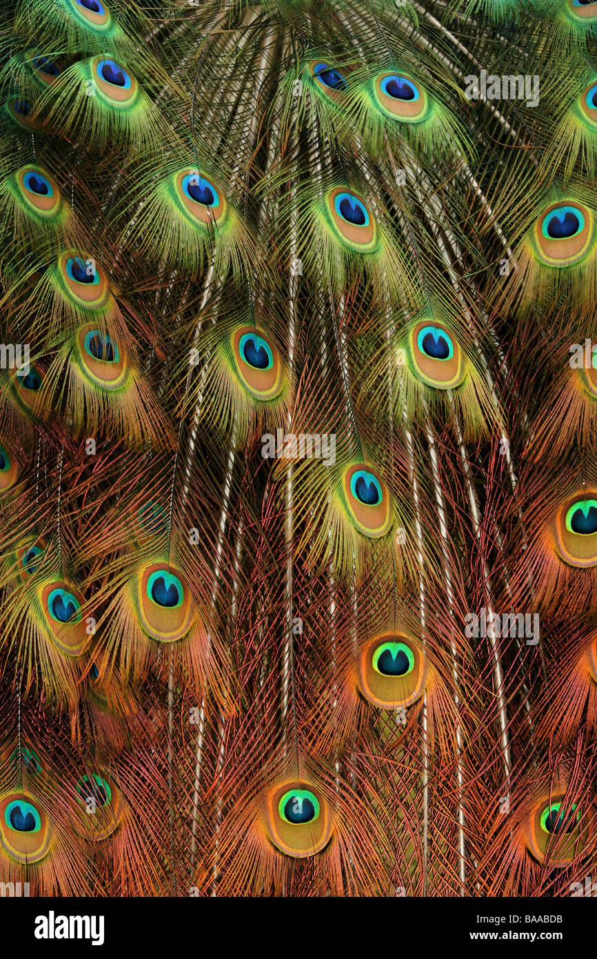 A male peacock Pavo cristatus country park north lincolnshire england great britain Stock Photo