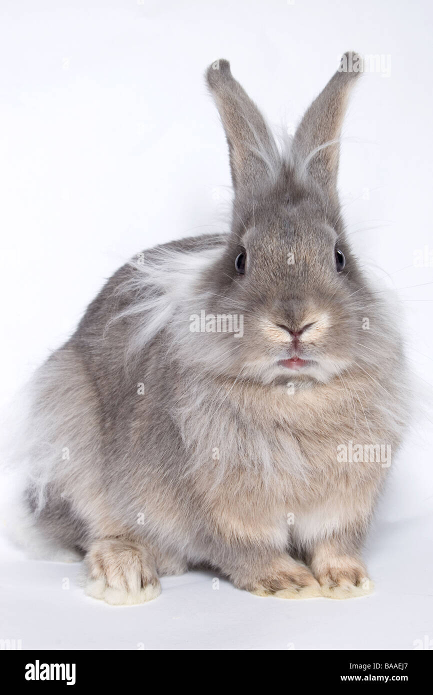 portrait young lionhead cross grey rabbit - Stock Image