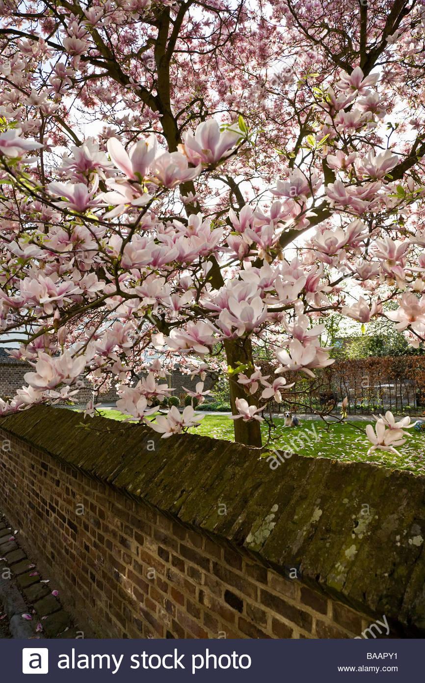 Flowering Magnolia Tree Blossom Small Garden Brick Wall Flower